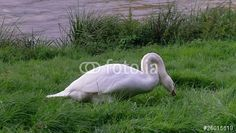 """Laden Sie den lizenzfreien Clip """"Hungry Swan"""" zum günstigen Preis herunter. Stöbern Sie in unserer Bilddatenbank https://de.fotolia.com/partner/200576682 und finden Sie schnell das perfekte Stockbild/-video."""