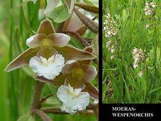 Moeraswespenorchis - Epipactis palustris. - Foto gemaakt door pinterester Adri v.d.S - Bord Wilde Witte bloemen - White wildflowers