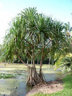 Pandanus, Pacific Screw Palm (Pandanus tectorius) Backyard Plants, Garden Plants, Indoor Plants, Australian Native Garden, Ends Of The Earth, Plant Drawing, Plant Species, Sunshine Coast, Botanical Gardens