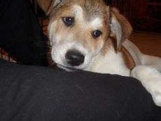 Doc is an adoptable Hound Dog in Manchester, NH. PUPDATE 3/1/13   Mama was a Golden Retr/Great Pyr...Papa was a hound...Sleepy has the softest fur you could imagine.  He is well socialized & going to ...