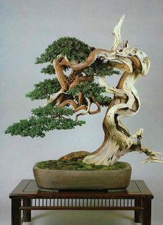 juniperus chinensis w/ extensive 'jin'