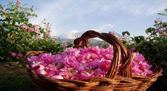Kalaa Mgouna - Rose basket. The first or second weekend of May every year, Moroccans harvest plenty of roses in Dades valleys, also called the valley of the roses. Tucked in this valley is Kelaa-des-Mgouna, a town filled with the fragrance of the rose flower it produces and distills.