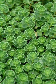 Sedum spurium 'John Creech' (Stonecrop) - Perennial - Zones 3-9, Height 3-6 in. Dr. John Creech discovered this little beauty in the Siberian Academ Gorodok Gardens. The small, scalloped green leaves of this weed-smothering groundcover are topped with rose pink flowers in late summer and fall. It is very hardy and vigorous and gorgeous weaving in and out of stepping stones or along a garden path. Ideal for green roofs, rock gardens and containers as well. Tolerant of light shade.