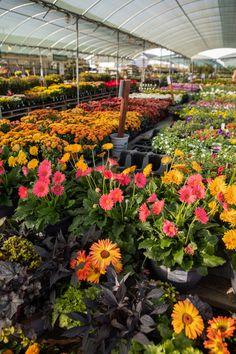 Landscaping Supplies, Garden Supplies, Black Mondo Grass, Nursery Supplies, Ornamental Kale, Palm Garden, Shade Umbrellas, Fall Planting, Pond Fountains