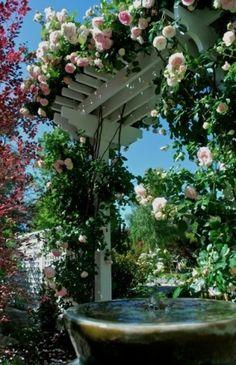 rozen over de pergola