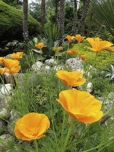 Eschscholzia californica BY  oriol4 ( jon ) | Flickr - Photo Sharing!