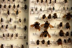 Amazing assortment of native bee species in Wisconsin cranberry bogs. From the lab of entomologist Claudio Gratton. Photo by Sevie Kenyon/UW-MadisonCALS