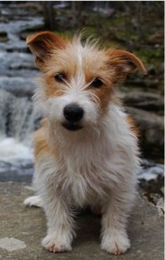 Rough-Coat Jack Russel Terrier