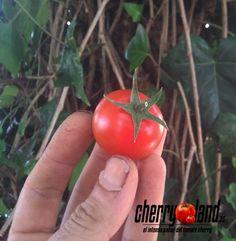 Un cherry buenísimo, color rojo intenso, más grande que los cherrys normales, ideales para  rellenos, ademas de otras muchas formas de consumir y un sabor 100% tomate.