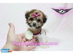 Tiny Teacup Puppies - Yorkies, Maltese, Poms & more , financing Teacup Maltipoo, Teacup Puppies, Maltese Poodle, Yorkies, Exterior Colors, Madonna, Tea Cups, Teddy Bear, Age