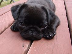 Little black Pug puppy. Cute Pugs, Cute Puppies, Dogs And Puppies, Doggies, Pug Love, I Love Dogs, Black Pug Puppies, Black Puppy, Baby Pugs