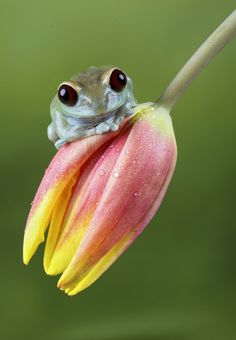 Ruby eye tree frog by Val Saxby