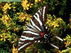 Animals Butterflies_Zebra Swallowtail Butterfly, Eastern U.S..jpg (800×600)
