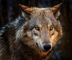 Superb Nature - beautiful-wildlife: Wolf by -Ruhri- Cute Dog Pictures, Wolf Pictures, Wolf Photos, Wolf Spirit, Spirit Animal, Beautiful Wolves, Animals Beautiful, Wolf World, North American Animals