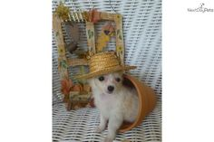 Meet ROWDY a cute Chihuahua puppy for sale for $750. AKC/CKC FAWN/WHITE MALE NEW PICS AS OF 09/03//14