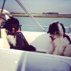 Sailing puppies Bobby and Charlie Tibetan terriers