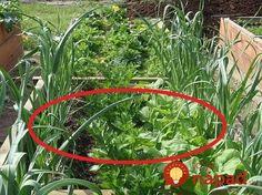 Vysádzanie podľa overených schém vám môže dať skutočne veľa. Okrem toho, že ušetríte čas a peniaze, podporíte aj svoju úrodu. Navyše, v záhrade si toho môžete zasadiť omnoho viac, úspora priestoru je zaručená. Toto sú schémy, ktoré radí dlhoročný záhradkár Jozef Kolárik. Planting Vegetables, Vegetable Garden, Growing Carnations, Green Lawn, Garden Hose, Agriculture, Home And Garden, Outdoor Structures, Gardening