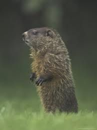 Groundhogs in the Great Smoky Mountains