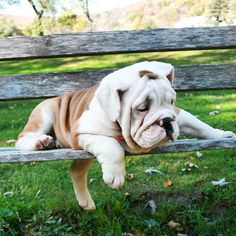 """""""I'm too pooped to pop!"""" #dogs #pets #Bulldogs Facebook.com/sodoggonefunny"""