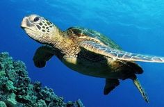 Entre las tortugas marinas que existen en México, la caguama es la más amenazada. La clave de su conservación está en crear normas y capacitar a los pescadores para evitar su captura incidental