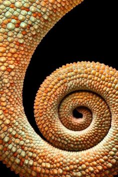 [Chameleon tale] Look at that texture. Do you suppose it feels bumply? I do like that light orange and soft green color and the swirly shape :) Vivayne Patterns In Nature, Textures Patterns, Spirals In Nature, Fractals In Nature, Fotografia Macro, Sacred Geometry, Nature Geometry, Belle Photo, Amazing Nature