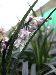Ophiopogon planiscapus 'Nigrescens' AGM