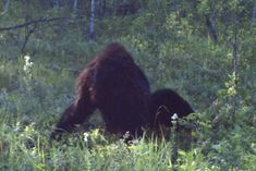 Best picture of Bigfoot ever taken in Alberta, Canada in Aug 2012