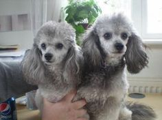 my gorgeous white & silver phantom toy poodles