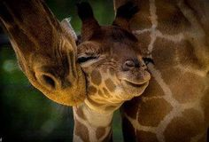 Mama giraffe with her baby