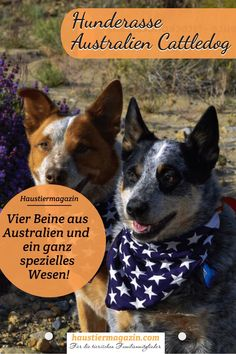 Sie haben ihren sehr eigenen Kopf und brauchen eine Aufgabe...Wir stellen dir die  Australien Cattledogs genauer vor.  #hunde #hundeliebe #hundemensch #vierpfoten #hunderasse #haustiermagazin Australian Shepherds, Australian Cattle Dog, What Kind Of Dog, Popular Dog Breeds, Dog Accessories, Pooch Workout, Aussie Shepherd, Cattle Dogs, Australian Shepherd
