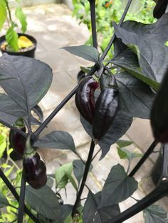 25 Premium Quality Hot Cheiro Roxa  Pepper Seeds Organiclly Grown-D 55