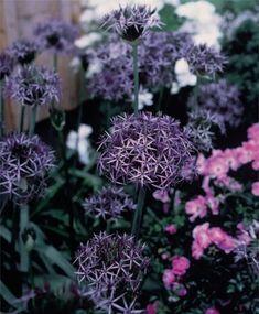 Allium albopilosum - Allium - Fall 2014 Flower Bulbs