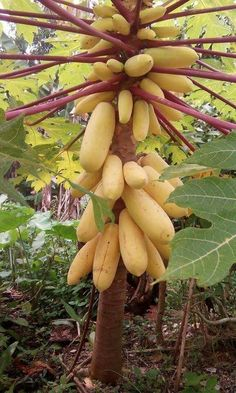 Easy Tips on Growing the Exotic Papaya Trees from the Seeds The Papaya have three dissimilar tree varieties, male plants, female plants and bisexual plants. The female and bisexual plants are the only ones that produce fruit. Fruit Plants, Fruit Garden, Papaya Varieties, Fruit Et Passion, Fruits And Vegetables List, Weird Fruit, Papaya Tree, Fruit Seeds, Beautiful Fruits