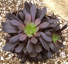 Aeonium x 'Poldark' A naturally-branching compact hybrid whose very dark rosettes have a touch of green in their centre. The succulent leaves have ciliate margins. Seen on a display by Trewidden Nursery.