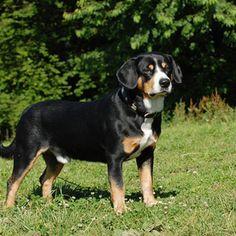 Entlebucher Mountain Dog | World of Animal Entlebucher Mountain Dog, Mountain Dogs, Dogs Of The World, Dog Breeds, Wordpress, Animals, Animales, Animaux, Animal