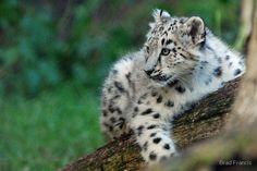 Snow Leopard Cub von Brad Francis