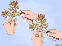 Stecklinge von Sukkulenten vermehren – wikiHow