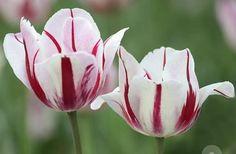 Tulips  https://cchs.usd224.com/Classes09/FlowersForUs/FlowersForUs2.html