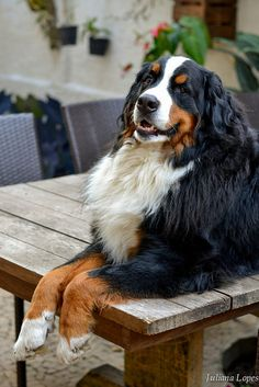 A Bernese Mountain