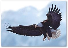AMERICAN BALD EAGLE FOUNDATION (Haines, AK) displays almost 180 species of animals, including almost two dozen eagles, in their natural habitat.