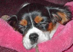 Cavalier King Charles Dog Rescue | THIS BREED LOVES THEIR BEAUTY SLEEP!