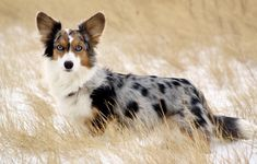 Pembroke Welsh Corgi Puppies, Corgi Mix, Cardigan Welsh Corgi, Blue Merle Corgi, Pugs, Pet Dogs, Dogs And Puppies, Weiner Dogs, Corgi Facts