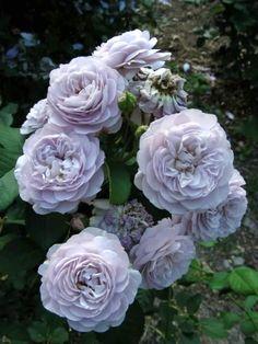 'Florence Delattre' | Shrub. Generosa ® Collection Rose.  Dominique Massad, 1991