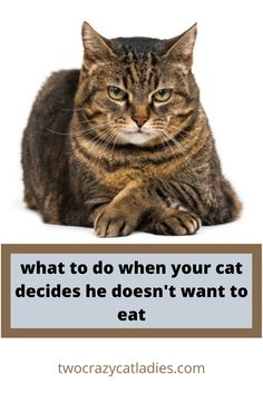 How to get kitty eating again. Crazy Cat Lady, Crazy Cats, First Time Cat Owner, Cat Health, Litter Box, Health Advice, Cat Food, Training Tips, Life Is Good