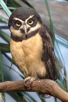 Spectacled Owl (Pulsatrix perspicillata), female. There are six subspecies of this owl. Photo: Daniel Klein.