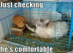 My cats do that when the guine pig is NOT in the cage
