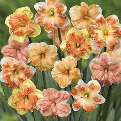 Narcissus 'Rainbow Butterflies Mixed' | Thompson & Morgan