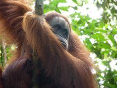 Orangutans, truly beautiful x