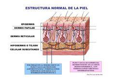 Resultado de imagen de dermis superficial y reticular