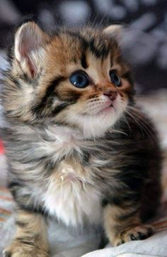 Super cute fluffy baby cat (hva)